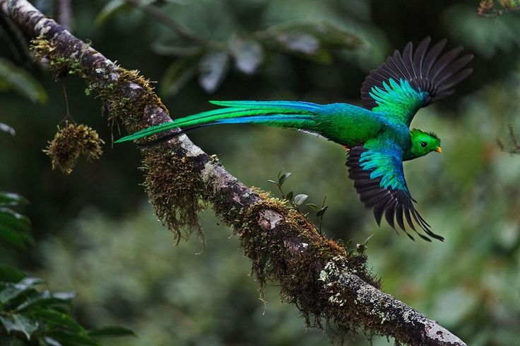 Resplendent Quetzal lives in the mountainous cloud forests in Central America.