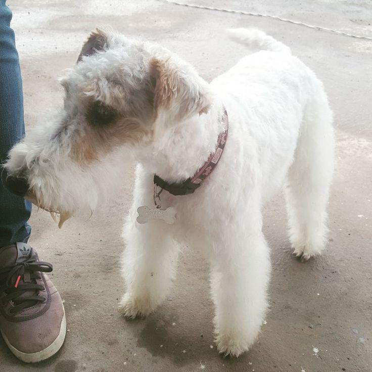 149 best TARA wire fox terrier images on Pinterest | Wire fox ...