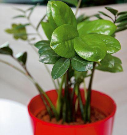 Rastlinným hitom dneška je Zamiokulkas | Urob si sám