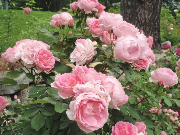 The Most Beautiful Of Very Hardy Canadian Roses Wonderful Climber With Double Sometimes Quartered Old Fashion Pinteres