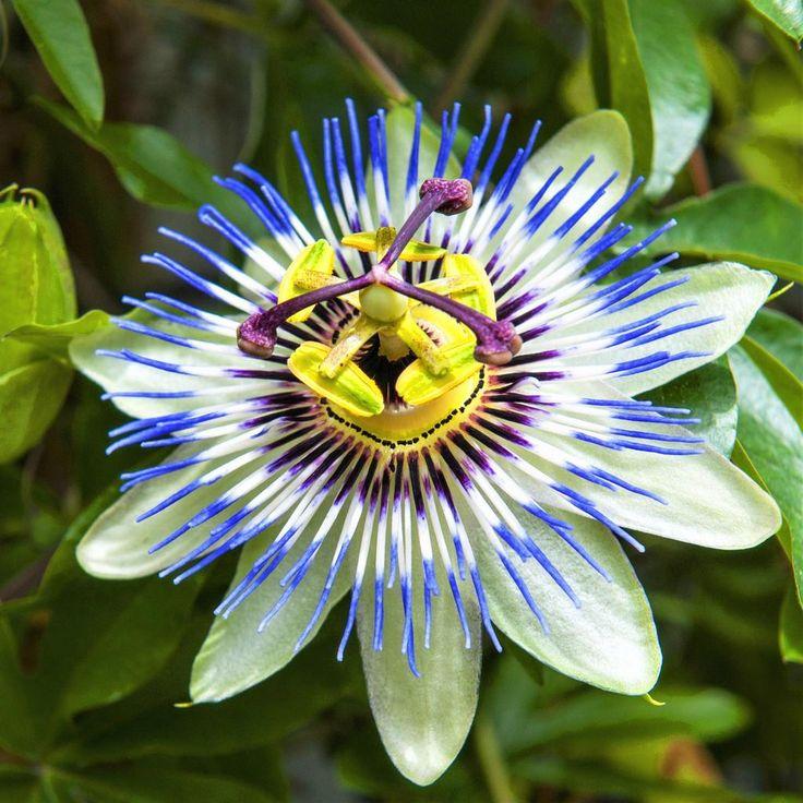 Passion flower passiflora blue crown passion flower