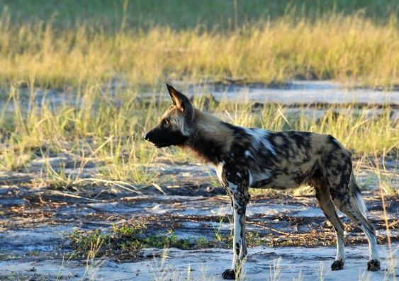 Something to sneeze about: democratic voting in African wild dog packs | UNSW Newsroom