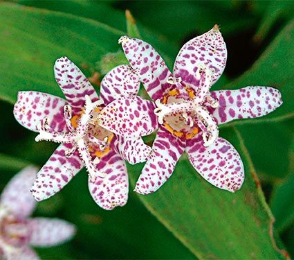 "Tricyrtis hirta Miyazaki Hybrids Common Name: Toad Lily Hardiness Zone: 4-8 S / 4-9 W Height: 30""+ Exposure: Full or Part Shade Blooms In: Sept-Oct Spacing: 12-15"""