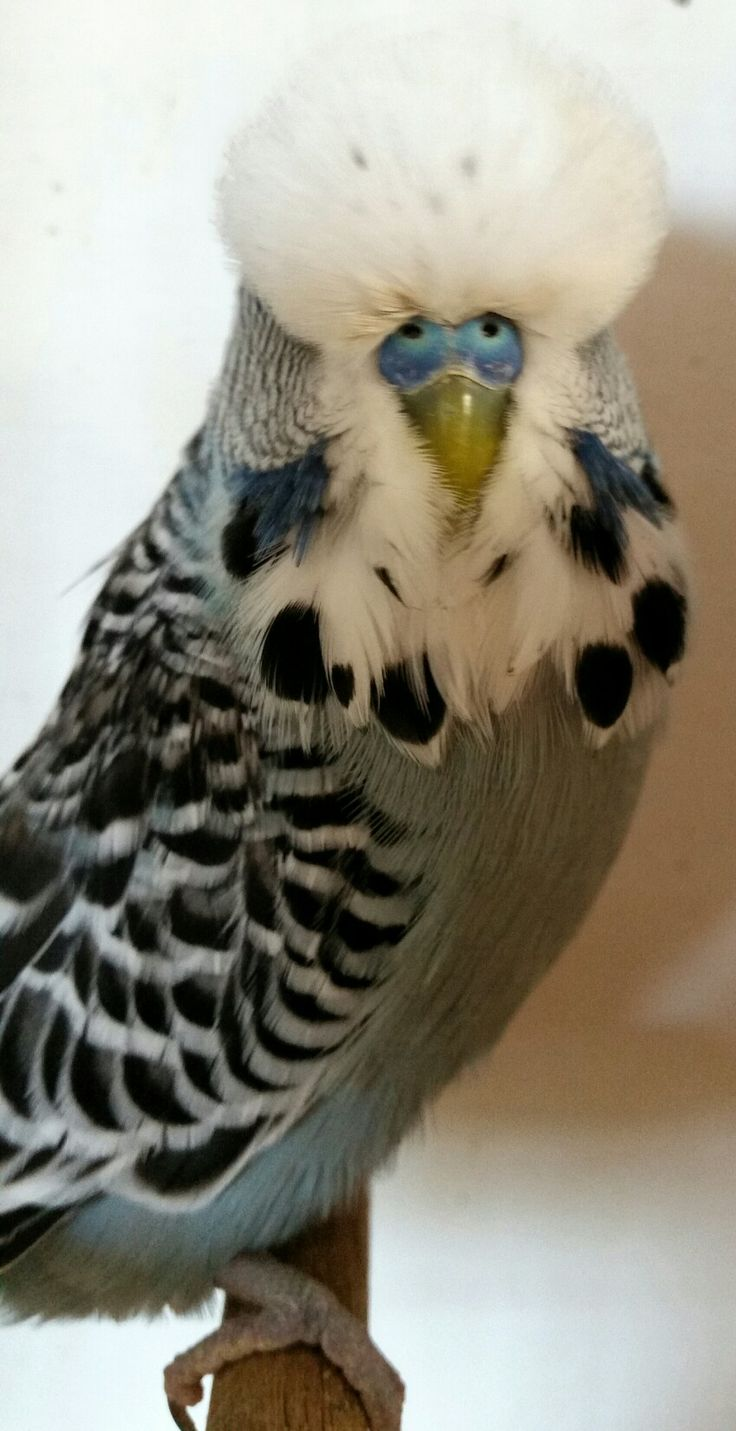 English Budgie Grey Normal