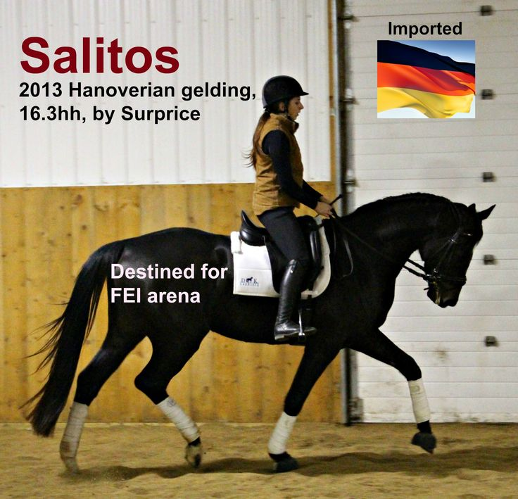 $64,500CDN -  SALITOS – 2013 Hanoverian (by Surprice) is an extraordinarily gifted 16hh gelding with a brave and bold character, amazing pedigree, loads of natural ability. Salitos will put an FEI rider in the winner's circle and keep an amateur rider in the ribbons.  Salitos is out of Surprice (Sir Donnerhall I) .
