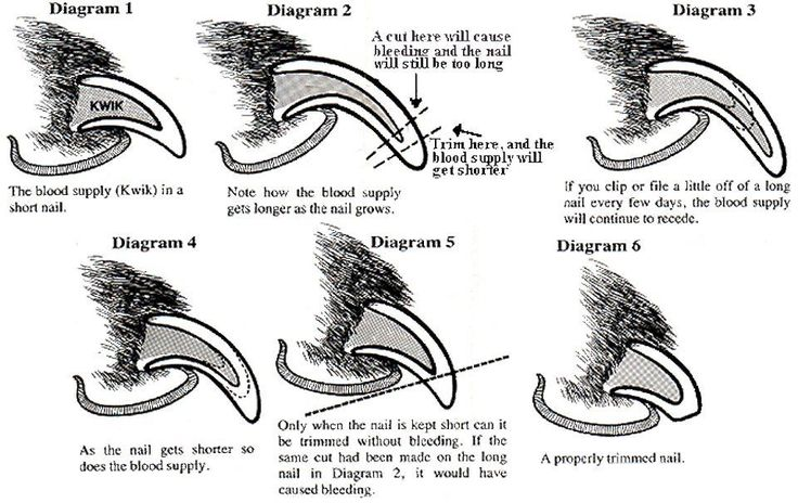 If you ever wondered how to trim your dogs nails without hurting them - here is a pretty cool diagram!
