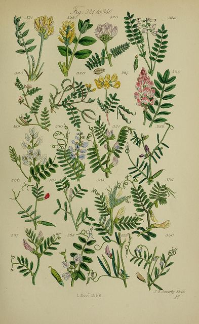 British wild flowers. Illustrated by John E. Sowerby | BioDivLibrary, via Flickr