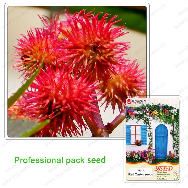 1 profesyonel paketi 10 tohum keneotu balkon saksı bitkileri saksı çiçekleri tohum kırmızı hint tohumu(China (Mainland))