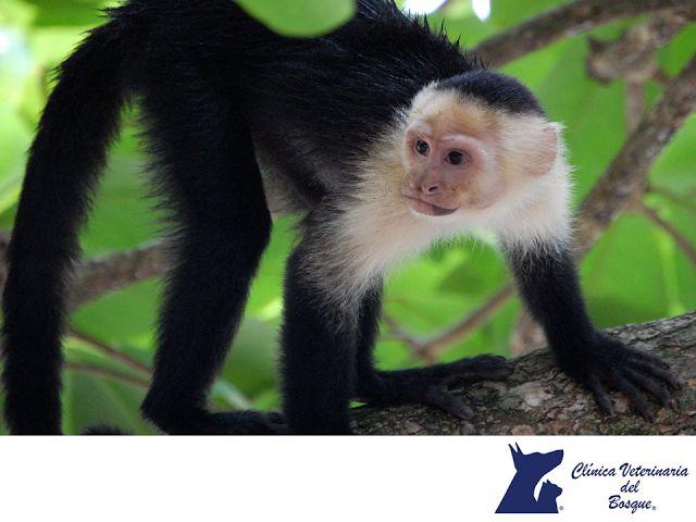 VETERINARIA DEL BOSQUE. Actualmente existen 3 especies de primates en las selvas de Chiapas, el mono araña, el mono aullador negro y el mono aullador mexicano, las tres se encuentran en peligro de extinción, a causa de la caza furtiva y la venta en el mercado negro. A pesar de ser especies protegidas por la (Semarnat), son vendidas como mascotas. En Veterinaria del Bosque te invitamos a hacer conciencia y ayudar a la conservación de estas especies de suma importancia para el medio ambiente.