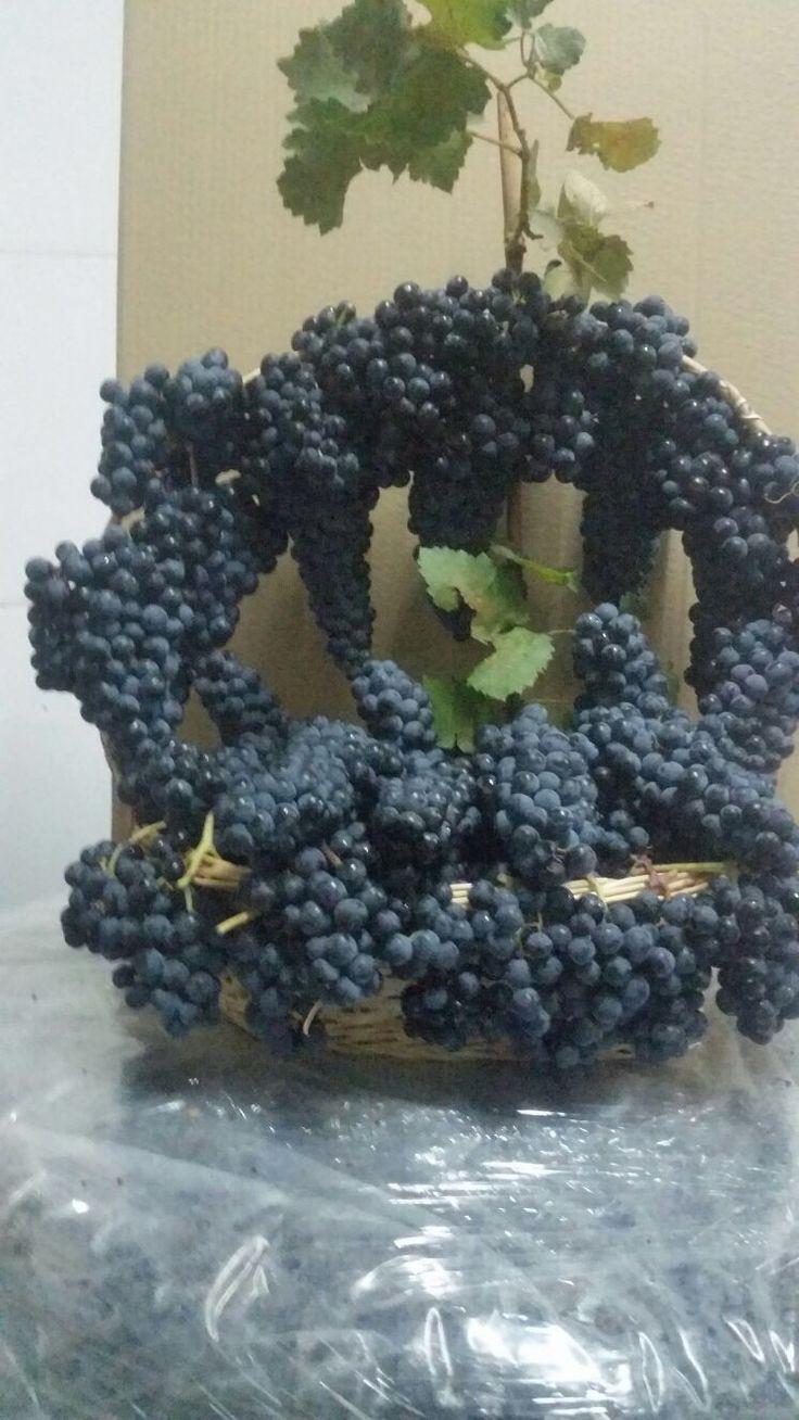 Fantásticas uvas Tempranillo /Fantastic Tempranillo grapes