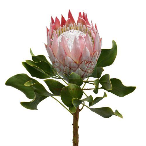 king protea - Google Search