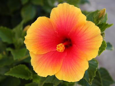 hawaii szigetek - Hibiszkusz