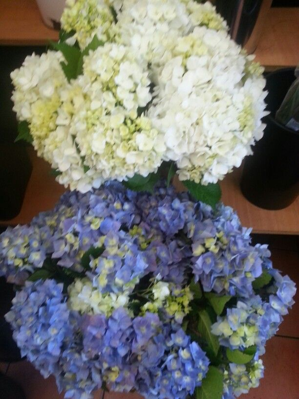 Beautiful Hydrangea flowers in blue and white color 'just for flower lovers'