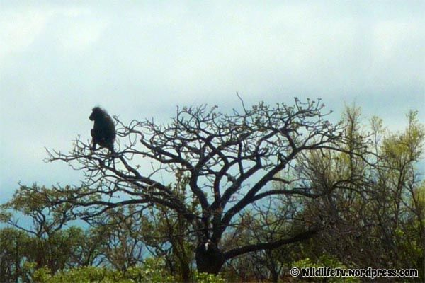 A male Chacma Baboon (Papio ursinus) keeps track of his surroundings to help protect his troop.