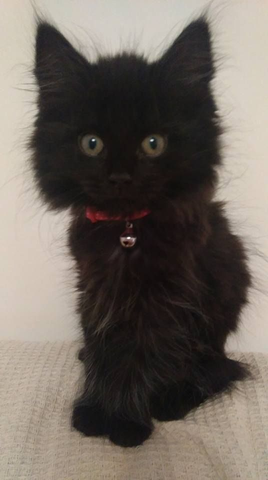 Best 25+ Fluffy black cat ideas on Pinterest | Black ...