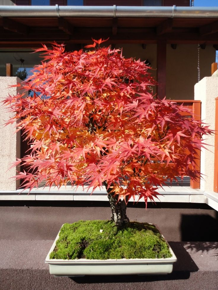 17 Best Images About Japanese Maples On Pinterest