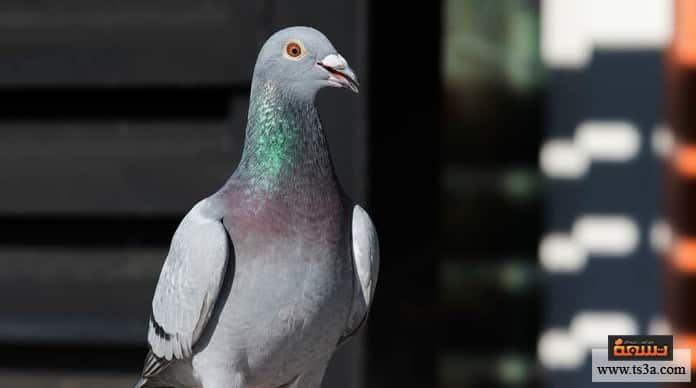 كيف تتمكن من تربية الحمام الزاجل وما الخصائص المميزة له Https Www Ts3a Com D8 Aa D8 B1 D8 A8 D9 8a D8 A9 D8 A7 D9 84 D8 Ad D9 85 D8 A7 D9 Parrot Animals