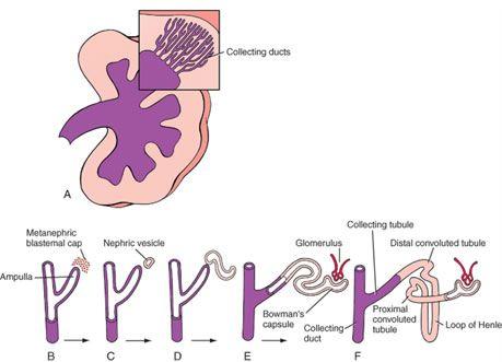 human embryology & developmental biology 5ed pdf
