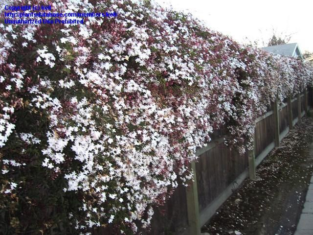 Jasminum Polyanthum | Star Jasmine - smells great, esp. at night ...