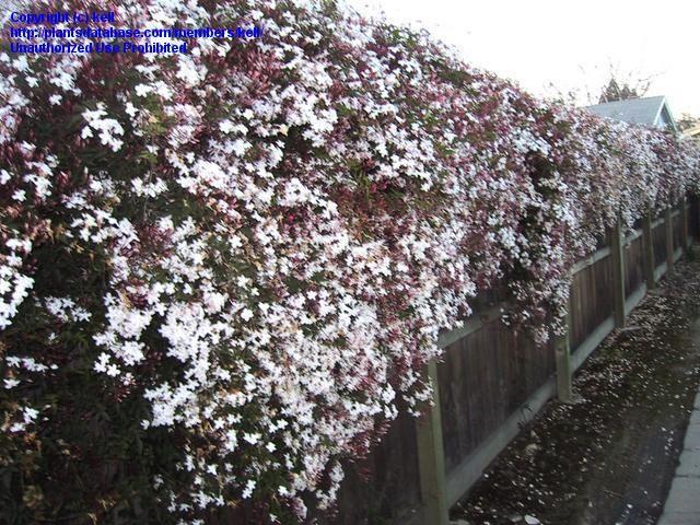 full size picture of pink jasmine winter jasmine jasminum polyanthum my plants pinterest. Black Bedroom Furniture Sets. Home Design Ideas
