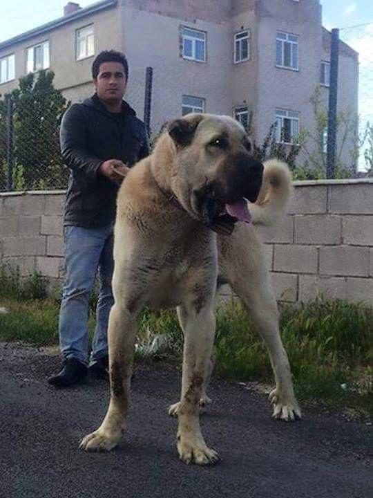 KANGAL ceymer 26 | Huge Dogs | Dogs, Kangal dog, Scary dogs