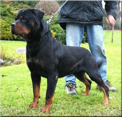 German Rottweiler | German Rottweilers unkas vom haus neubrand.  2004 champion.  My boys grand father