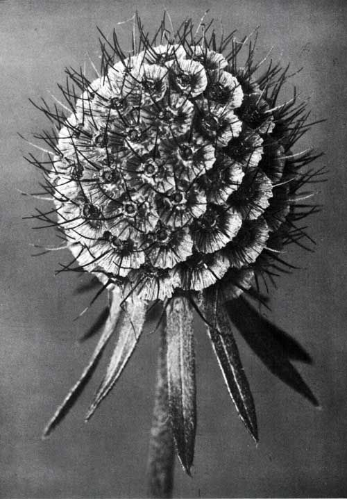Karl Blossfeldt's photograph shows a seed head of the Scabiosa columbaria at a magnification of nine.