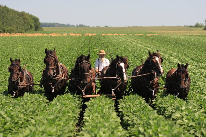A group which began in Switzerland and migrated to the United States, the Amish still plow with horses and drive in black painted horse buggies. They also dress based on fashions from the time of the group's beginning.