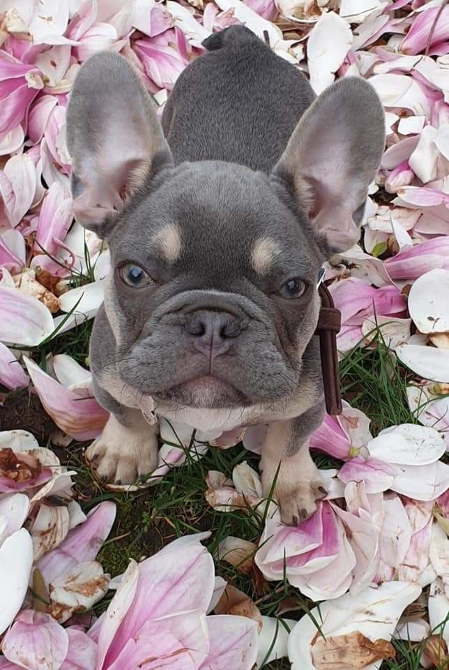 Here Is My Cute French Bulldog Frank Helping To Do The Gardening Spring Has Come Come And J Franzosische Bulldogge Franzosische Bulldogge Blau Blauer Hund
