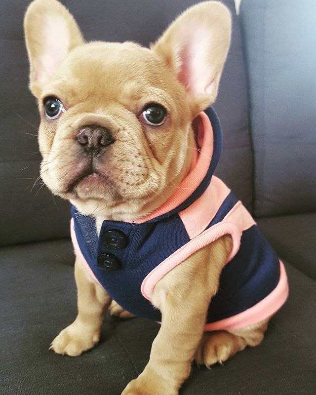 """""""I'm Ready for my day out"""", French Bulldog Puppy❤️"""