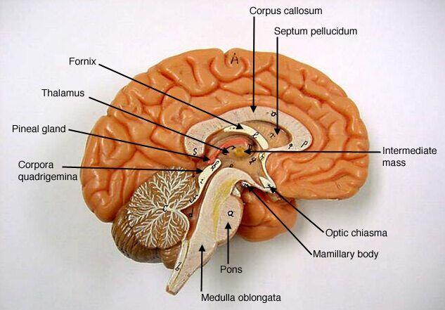 Lateral View Of Brain Anatomy Www Anatomynote Com Brain Anatomy Brain Models Anatomy