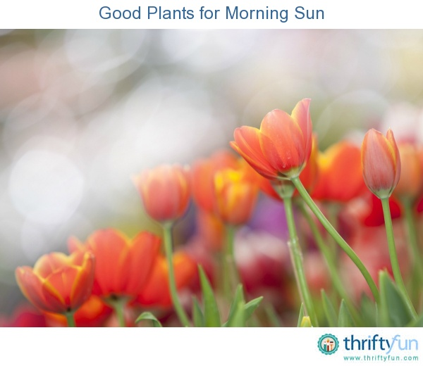 Google Good Morning In French : Best images about morning sun plants on pinterest