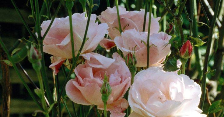 """Cómo enraizar una rama de un rosal y crear uno nuevo. Los rosales adornan los paisajes con sus flores hermosas y fragantes de una gran variedad de colores. Si deseas adquirir más para tu paisaje, ahorra dinero y prueba tu mano para enraizar o propagar un rosal por tu cuenta. Enraizar una rama de rosal, llamada una """"caña"""" puede ser una experiencia de prueba y error. Según la Extensión de la ..."""