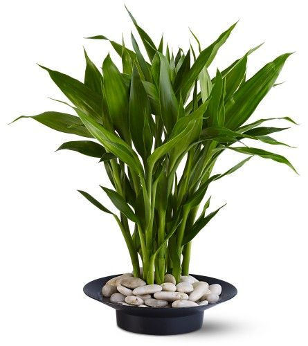 Top 8 Feng Shui Cures: Use Most Popular Feng Shui Decor Cures in Your Home: Feng Shui Lucky Bamboo Plant for Your Home or Office