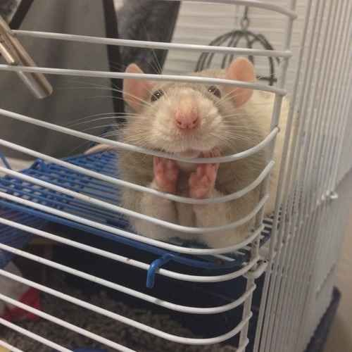 """And the very first time a pet rat said """"Whatcha doin'?"""""""