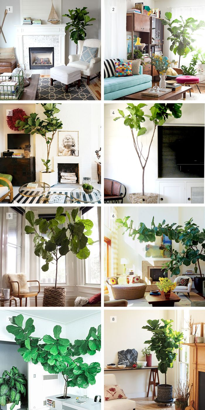 Fiddle Leaf Fig- my next green purchase!