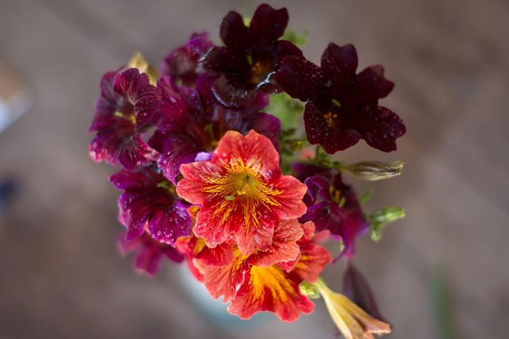 Salpiglossis - Royale Mix - Pinetree Garden Seeds - Flowers  - 1