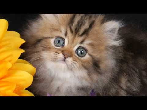 Wonderful Rug Huggers Kittens | Dolly, Rug Hugger Persian Cat, Worldu0027s Smallest Cat,  Rug