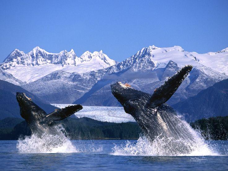 Humpback Whales Breaching, Alaska