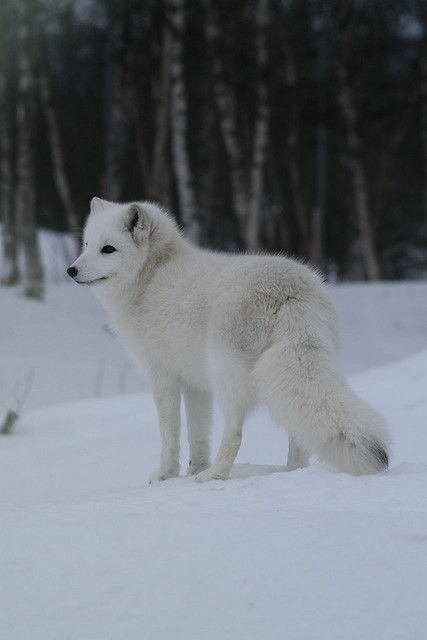 Artic Fox - Nature Park, Langedrag, Tunhovd, Nesbyen, Norway