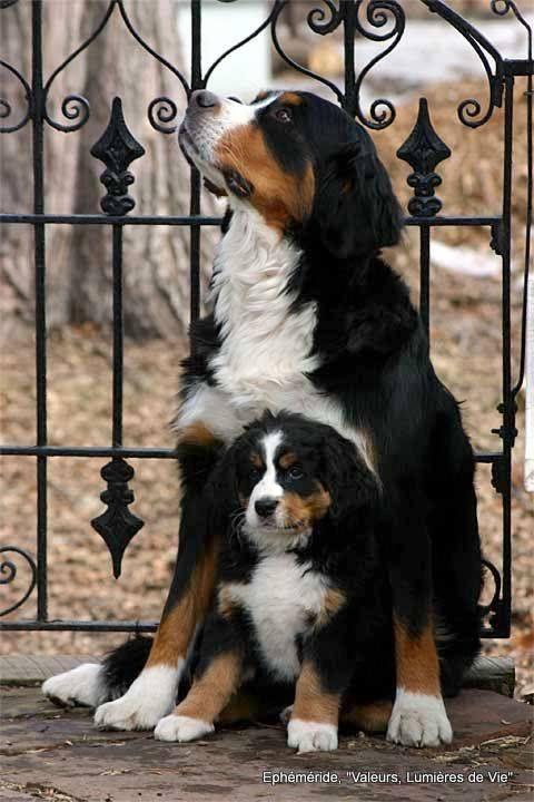 Burnese Mountain Dogs