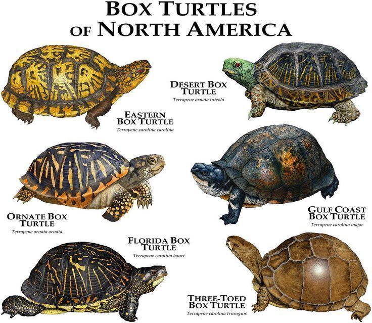 Box Turtles of North America by rogerdhall on DeviantArt
