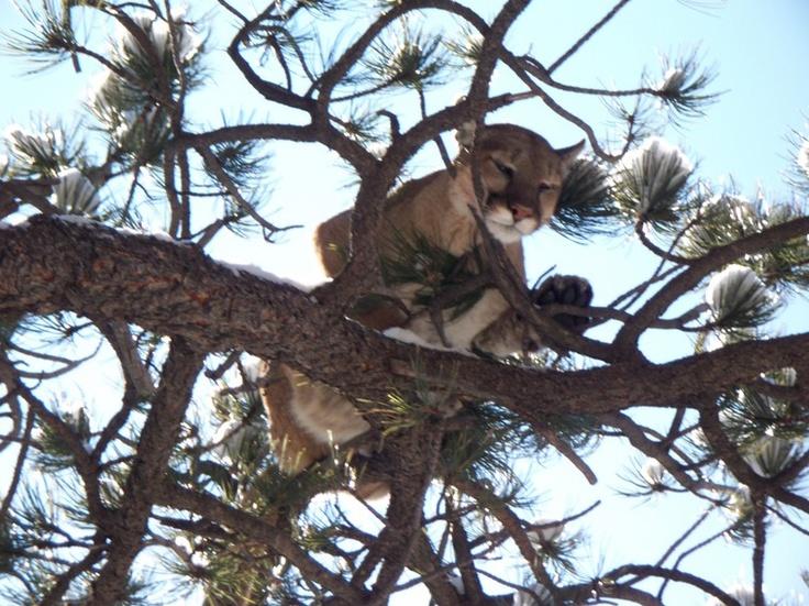 Colorado mountain lion hunts  http://gothunts.com/colorado-mountain-lion-hunt/#