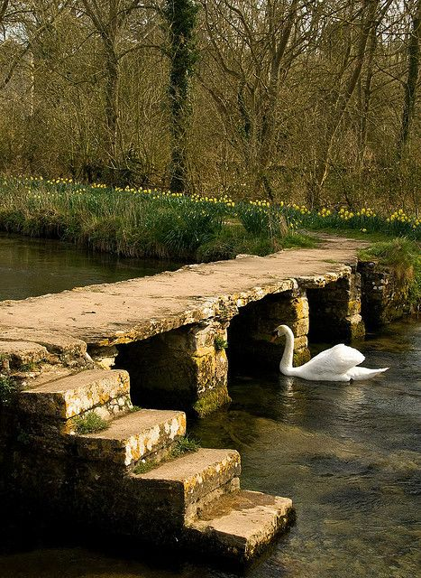 River Leach Crossed by this old stone clapper bridge, the little river Leach in spring is flanked with Daffodils.