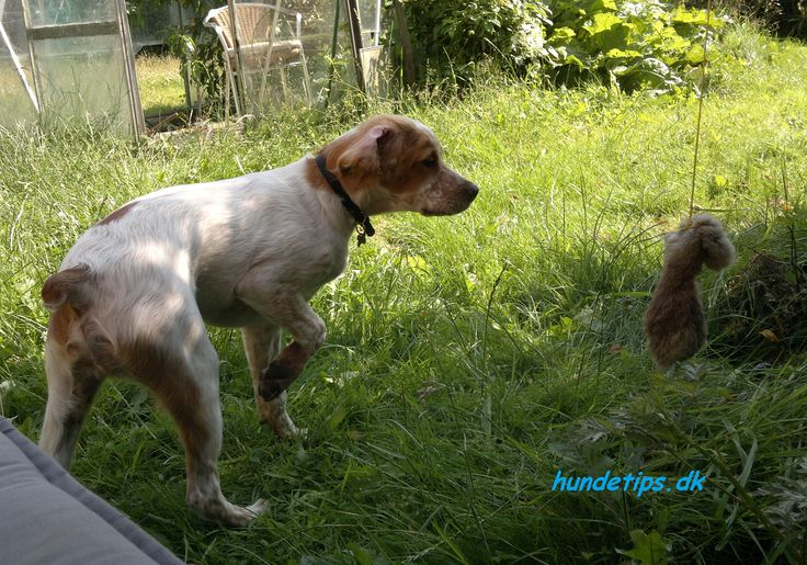 A brittany spaniel pointing. Dogtraining. http://www.hundetips.dk/