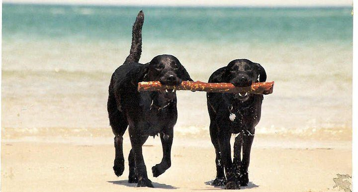 Twin Fetch: Teamwork Finn, Dogs Enjoying, Black Labradors, Lovealldogs Allcreatur, Twin Fetch, Guide Eye, Shadows, Black Labs, The Beaches