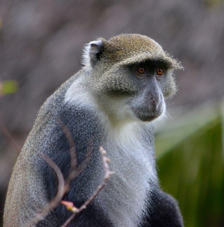 21 novembre 2013, Chale Kenya: vi presentiamo le specie di primati che vivono sull'isola… (Foto di Paolo Bonvini)