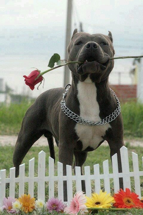 PitBull with a Red Rose in his mouth | All kinds of ...