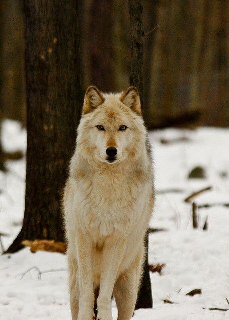 Arctic Wolf by RickyNJ, via Flickr