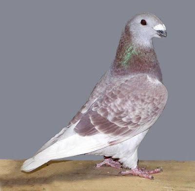 #show #homer #pigeons #for #sale